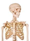 Human skeleton isolated on white background. Stock Photo