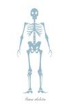 Human Skeleton Isolated on White. Human Body Royalty Free Stock Photo