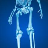Human skeleton: Knee joint . vector illustration