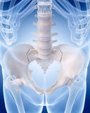 The human skeleton - the lumbar spine Royalty Free Stock Image