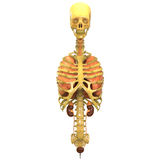 Human Skeleton With Lungs and Kidneys Stock Photo