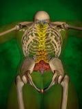 Human skeleton M-SK-POSE Bb-56-10, Vertebral column, 3D Model. Human Poses, Human Skeleton, Vertebral column, 3D Model, Grren Background Royalty Free Illustration