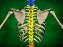 Human skeleton M-SK-POSE Bb-56-15, Vertebral column, 3D Model. Human Poses, Human Skeleton, Vertebral column, 3D Model, Grren Background Stock Photography