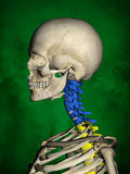 Human skeleton M-SK-POSE Bb-56-12, Vertebral column, 3D Model Stock Photography
