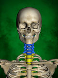 Human skeleton M-SK-POSE Bb-56-11, Vertebral column, 3D Model Royalty Free Stock Images