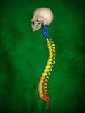 Human skeleton M-SK-POSE Bb-56-18, Vertebral column, 3D Model royalty free illustration
