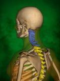 Human skeleton M-SK-POSE Bb-56-8, Vertebral column, 3D Model. Human Poses, Human Skeleton, Vertebral column, 3D Model, Grren Background Royalty Free Stock Image