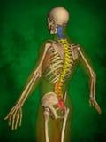 Human skeleton M-SK-POSE Bb-56-7, Vertebral column, 3D Model. Human Poses, Human Skeleton, Vertebral column, 3D Model, Grren Background Royalty Free Stock Photography