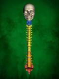 Human skeleton M-SK-POSE Bb-56-17, Vertebral column, 3D Model. Human Poses, Human Skeleton, Vertebral column, 3D Model, Grren Background Stock Image