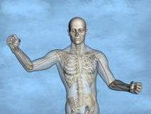 Human skeleton M-SK-POSE M4ay-24-tr50-10, 3D Model, 3D Model. Human Poses, Human Skeleton, Blue Background Stock Photo