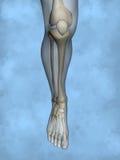 Human skeleton M-SK-POSE M4ay-24-tr50-4, 3D Model. Human Poses, Human Skeleton, Blue Background Royalty Free Stock Photo