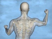 Human skeleton M-SK-POSE M4ay-24-tr50-11, 3D Model. Human Poses, Human Skeleton, Blue Background Stock Images