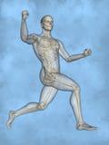 Human skeleton M-SK-POSE M4ay-24-tr50-1, 3D Model. Human Poses, Human Skeleton, Blue Background Stock Photos