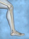 Human skeleton M-SK-POSE M4ay-24-tr50-3, 3D Model. Human Poses, Human Skeleton, Blue Background Stock Photo