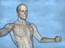 Human skeleton M-SK-POSE M4ay-24-tr50-11, 3D Model. Human Poses, Human Skeleton, Blue Background Stock Photo