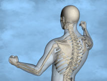 Human skeleton M-SK-POSE M4ay-24-tr50-9, 3D Model. Human Poses, Human Skeleton, Blue Background Royalty Free Stock Photos