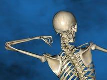 Human skeleton M-SK-POSE Vfm-1-5, 3D Model. Human Poses, Human Skeleton, Blue Background Royalty Free Stock Image