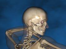 Human skeleton M-SK-POSE Vfm-1-8, 3D Model. Human Poses, Human Skeleton, Blue Background Royalty Free Stock Images