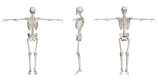 Human Skeleton - male Royalty Free Stock Images