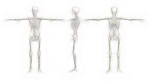 Human Skeleton - male Stock Photos