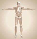The human skeleton Stock Image