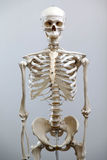 Human skeleton royalty free stock photo