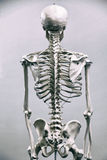 Human skeleton. Medical visual aid - model of human skeleton over white royalty free stock photo