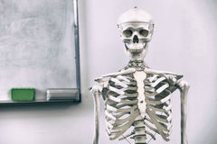Human skeleton. Medical visual aid - model of human skeleton over white stock photography