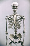 Human skeleton. Medical visual aid - model of human skeleton over white royalty free stock photo
