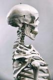 Human skeleton stock photography