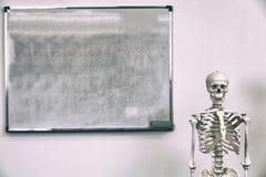 Human skeleton royalty free stock photography