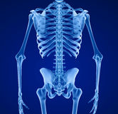 Human skeleton, Medically accurate Royalty Free Stock Photography