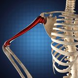 Human skeleton model on blue Stock Photo