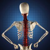 Human skeleton model on blue Stock Images