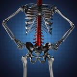 Human skeleton model on blue background Stock Images