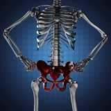 Human skeleton model on blue background Stock Photography