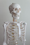 Human skeleton model Stock Photos