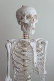 Human skeleton model stock photos