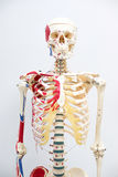 Human skeleton model. For physiology in laboratory Stock Photo