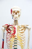 Human skeleton model. For physiology in laboratory Stock Photos