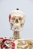 Human skeleton model. For physiology in laboratory Royalty Free Stock Photography