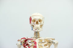 Human skeleton model. For physiology in laboratory Royalty Free Stock Photos