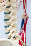 Human skeleton model. For physiology in laboratory Stock Image