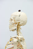 Human skeleton model. For physiology in laboratory Stock Photography