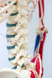 Human skeleton model. For physiology in laboratory Royalty Free Stock Images