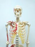 Human skeleton model. For physiology in laboratory Stock Images