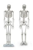 Human skeleton model Royalty Free Stock Photo