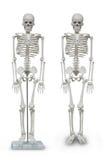 Human skeleton model Royalty Free Stock Photo