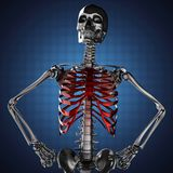 Human skeleton modelon blue background Stock Photos