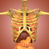 Human Skeleton with Organs (Lungs, Liver, Large and Small Intestine with Kidneys) Stock Images